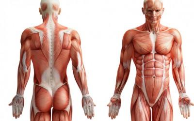 7 hechos sobre los músculos que quizás no conocías