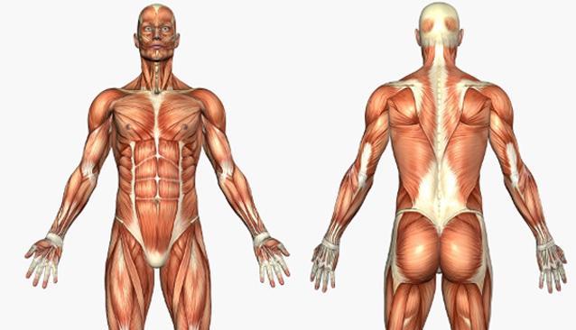 cuerpo musculos